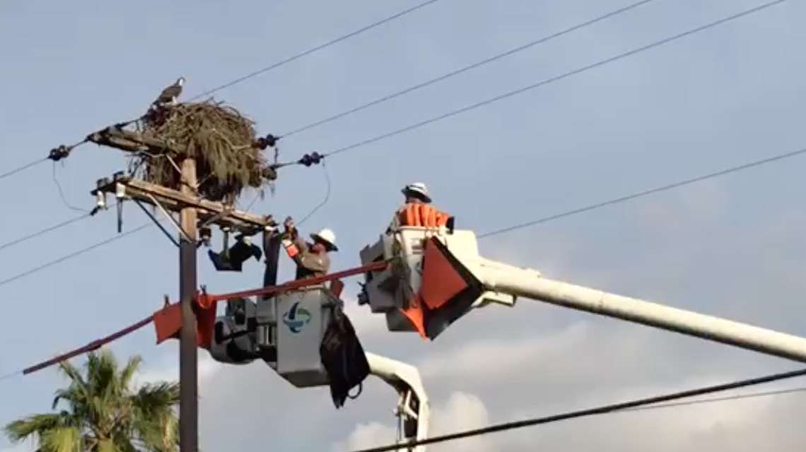 Lineman attempt to shoo away an osprey from a nest atop a utility pole before beginning a job